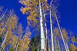 Aspen trees  and a deep blue sky at the peak of autumn in Rocky Mountain National Park, Colorado, USA
