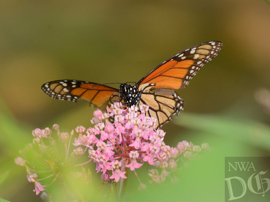 Courtesy photo/TERRY STANFILL<br />MONARCH MIGRATION<br />A monarch butterfly rests on wildflowers near Swepco Lake. Terry Stanfill of the Decatur area took the picture near the lake's Eagle Watch Nature Trail. Monarchs make their migration south during September and October.