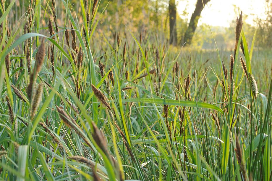 Oeverzegge (Carex riparia), Pettelaar