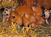 Carl, ANIMALS, photos(SWLA769,#A#) Schweine, cerdos