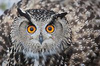 Uhu, Portrait, Porträt, Augen, Federohren, Bubo bubo, Eagle Owl, Hibou grand-duc, Grand-duc d'Europe
