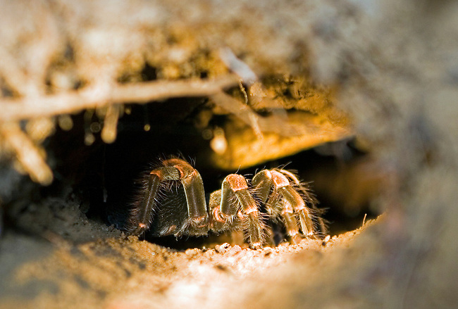 Tarantula in a burrow in the rainforests of Monteverde, Costa Rica.