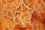 A macro view of an ochre sea star (Pisaster ochraceus)