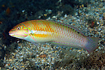 Halichoeres poeyi, Blackear wrasse, Blue Heron Bridge, Florida
