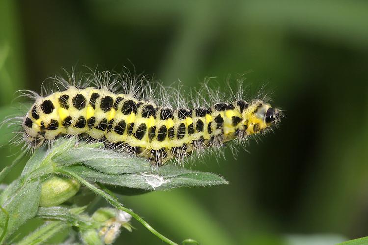 Narrow-bordered 5-spot Burnet - Zygaena lornicerae