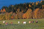 Carl, LANDSCAPES, LANDSCHAFTEN, PAISAJES, photos,+autumn, h+Âst, cows, cattle, kor,++++,SWLA4004,#L# cows,autumn