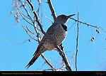 Northern Flicker, Woodpecker, Bosque del Apache Wildlife Refuge, New Mexico