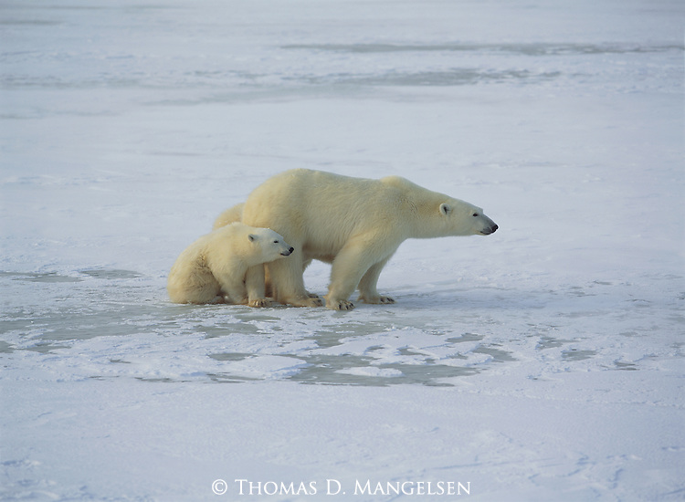 A mother Polar Bear stays close to her cubs in a defensive posture on the frozen tundra.
