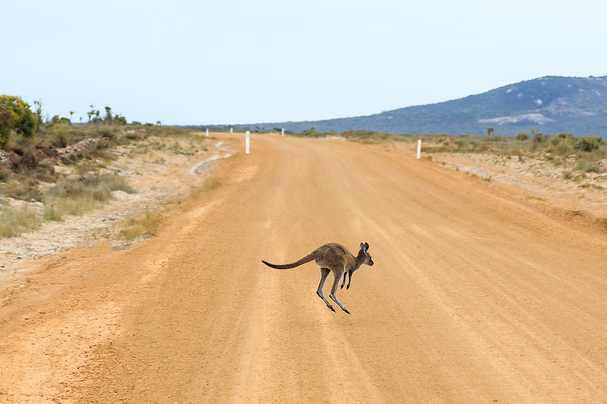 Baby kangaroo hopping over a dirt road. Western Australia.