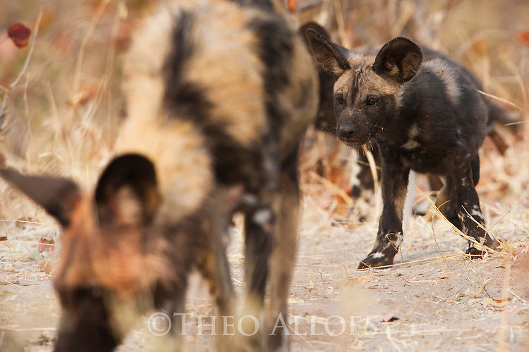 Botswana, Okavango Delta, Moremi Game Reserve, African wild dog (painted wolf, painted dog) (Lycaon pictus ) adult with pup near den, African wild dogs are highly endangered animals