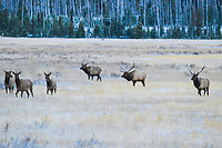 Three large Bull Elk vie for the attention of females during the Elk Rut in Rocky Mountain National Park, Colorado.