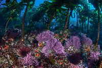 Stalked kelp, Pterygophora californica, and colorful purple algae grows on a rocky bottom near the Santa Barbara Island, Channel Islands National Park, California, USA, Pacific Ocean