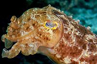 A reef cuttlefish (Sepia latimanus) swimming around off of Bali, Indonesia, Indian Ocean