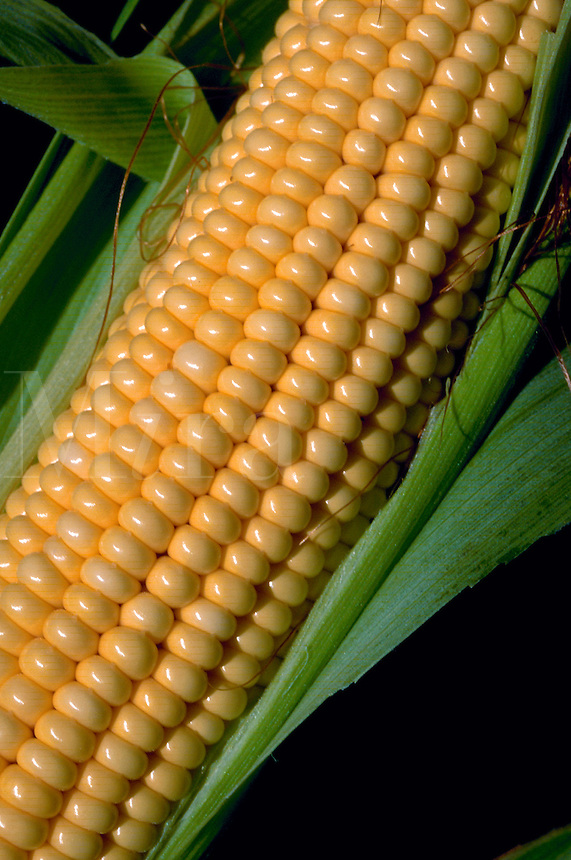 Close up of an ear of corn.