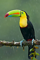 Wild Keel-billed Toucan (Ramphastos sulfuratus), also known as Sulfur-breasted Toucan or Rainbow-billed Toucan.  Found from southern Mexico south through Central America into northern South America.  These photos were taken in the rain in Costa Rica.