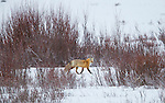 A fox walks through an opening in the willow along Soda Butte Creek in Yellowstone National Park in Wyoming, USA, on Feb 11Th 2015.  Photo by Gus Curtis.