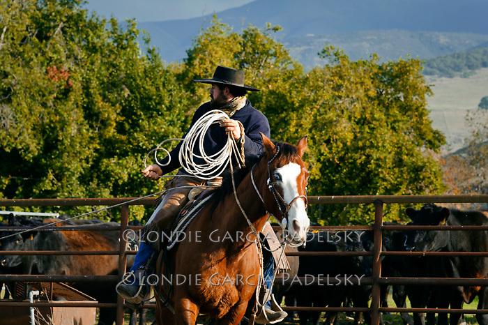 Cowboy takes a dally at a cattle roundup at the Escuela Ranch, San Luis Obispo, California
