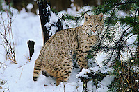 Bobcat (Felis rufus) or (Lynx rufus) Northern Rockies, winter.