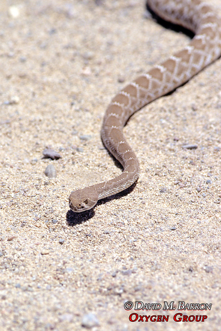 Red Rattlesnake