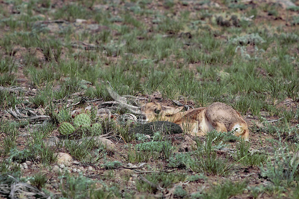Young Pronghorn Antelope fawn lying still to avoid detection from predators--its best defense during the first week or two of life.  This one is lying next to a prickly pear cactus.  Western U.S., June.