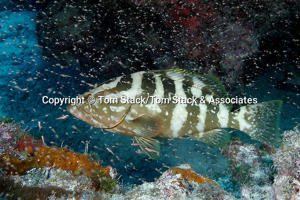 Nassau Grouper, Epinephelus striatus, in a school of baitfish