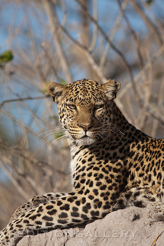 Leopard (Pantera pardus), Botswana. (this species is found in many African countries including South Africa, Botswana, Zambia, Zimbabwe, Namibia, Tanzania, Kenya, Rwanda, Uganda)