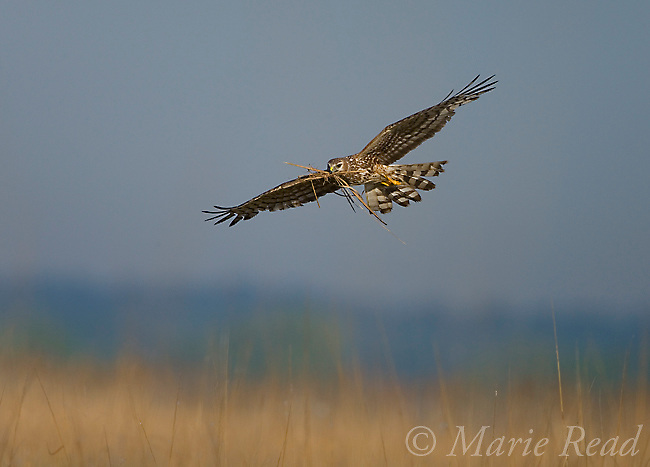 Northern Harrier (Circus cyaneus) female carrying nest material, Montezuma NWR, New York, USA<br /> Woodfall/Photoshot