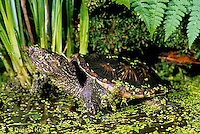 1R05-109z  Snapping Turtle - in pond with duckweed - Chelydra serpentina