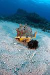 Horned Helmet Shell (Cassis cornuta) lifting its shell to capture a Collector Urchin (Tripneustes gratilla) to consume, Hawaii, USA.