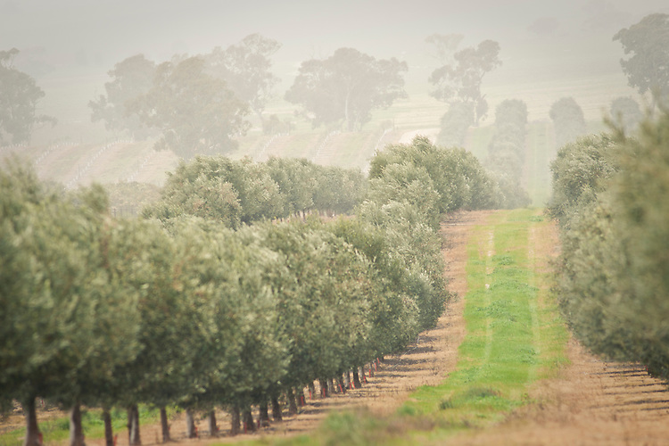 Pendleton Olive grove and Olive Oil,