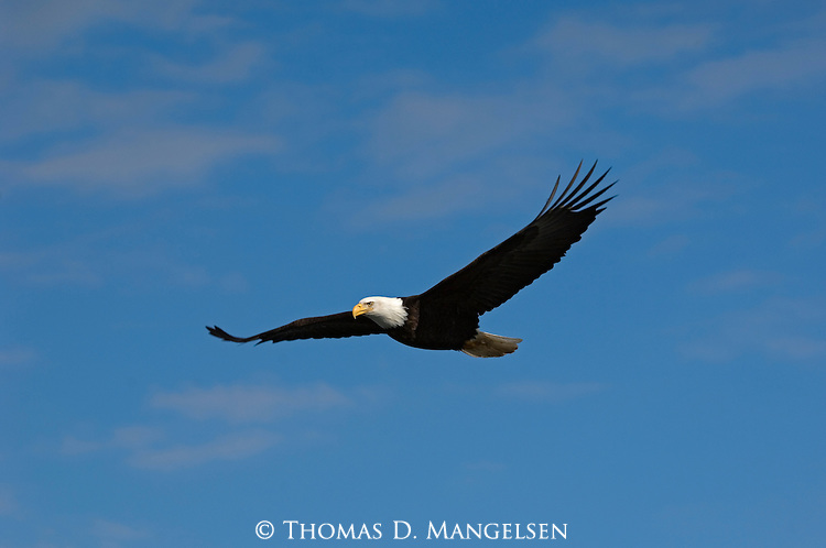 A bald eagle in flight at Kachemak Bay in Homer, Alaska.