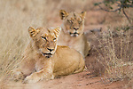 African Lion (Panthera leo) females, Greater Makalali Private Game Reserve, South Africa