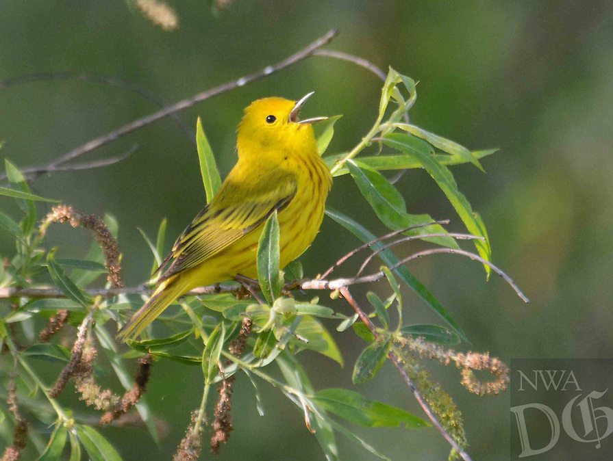 Courtesy photo/TERRY STANFILL<br /> A yellow warbler sings its song in western Benton County. Terry Stanfill of the Decatur area took the picture May 6 along the Eagle Watch Nature Trail.