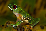 Red Eyed Tree Frog, Agalychnis callidryas, Costa Rica, sitting on leaf, tropical jungle, South America, side.Central America....