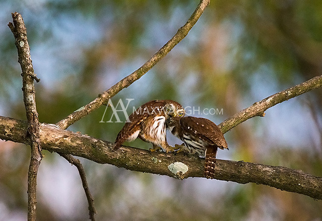 We were fortunate to spot a pair of courting ferruginous pygmy owls.