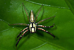 Jumping Spider, Family Salticidae, Manu Peru, White stripes, large eyes, on leaf, jungle, amazon.South America....