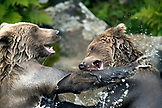 USA, Alaska, grizzly bears wrestling, Wolverine Cove, Redoubt Bay