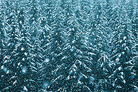 Pine Tree Forest in Snow Storm, Cascade Mountain Range, Washington, USA.