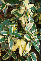 Eleagnus x ebbengei 'Gilt Edge' variegated foliage, AGM shrub, GILD-EDGE SILVERBERRY BUSH