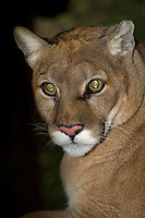 656320012 a captive wildlife rescue mountain lion kiowa felis concolor at the wildlife waystation wildlife recovery and care facility in southern california
