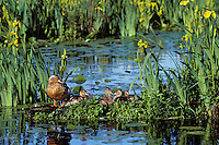 Mallard duck family--hen with ducklings--resting on old log among yellow iris.  Pacific N.W.  June.  (Anas platyrhynochos)