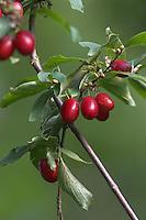 Kornelkirsche, Kornel-Kirsche, Kornellkirsche, Kornel, Kornell, Früchte, Cornus mas, Cornelian Cherry, Cornouiller mâle