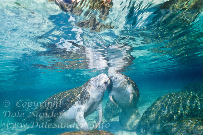 West Indian Manatees ( Trichechus manatus latirostris ) gather at Three Sisters Springs olong Crystal River in Florida, USA.