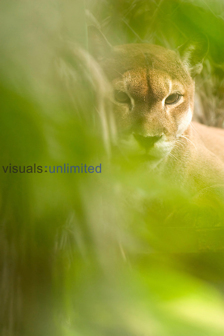 Cougar or Mountain Lion (Puma concolor), Costa Rica