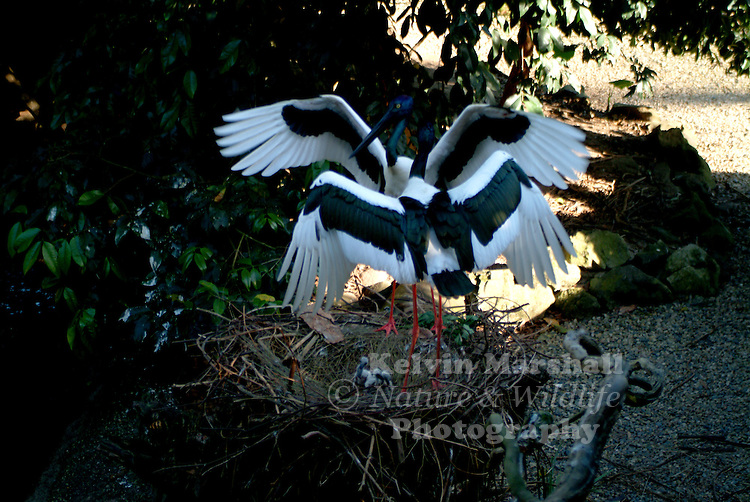 The Black-necked Stork (Ephippiorhynchus asiaticus) or Jabiru, is the only stork found in Australia. Standing at a height of 129 - 137 cm, with black and white body plumage, glossy dark green and purple neck and massive black bill, it is easily distinguished from all other Australian birds. The legs are long and coral-red in colour. The female is distinguished by its yellow eye. Immature birds resemble adults, but the black plumage is replaced by brown and the white plumage is duskier.