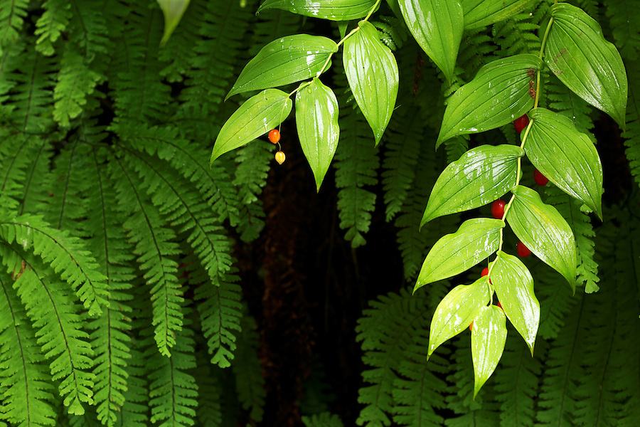 Detail of ferns and twisted-stalk with berries on canyon wall, Fern Canyon, Prairie Creek Redwoods State Park, Humboldt County, California, USA