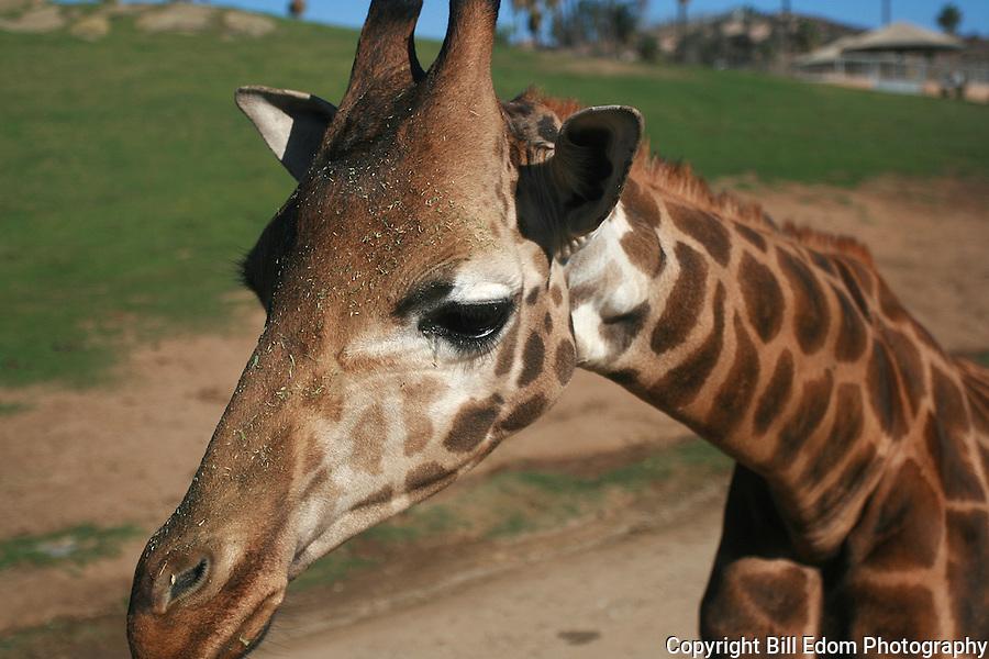 Portrait of a Giraffe.