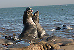 Elephant seal bulls