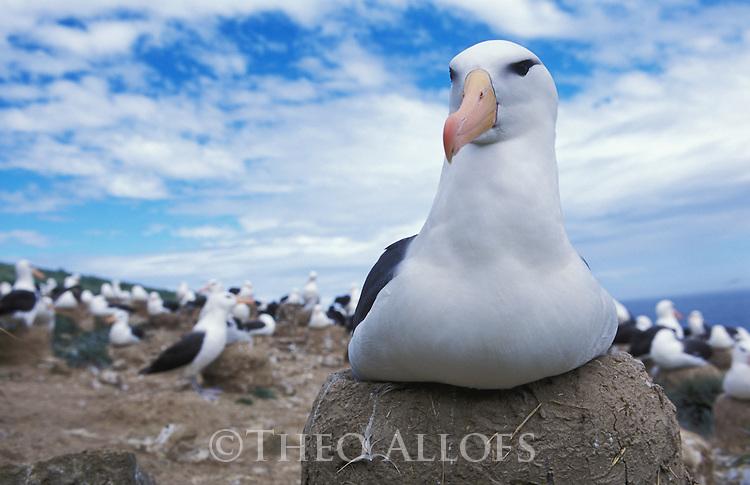 Falkland Islands; Black-browed albatross sitting on nest