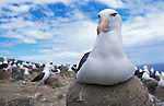 Falkland Islands; Black-browed albatross sitting on nest